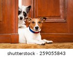 Stock photo couple of dogs watching at the door at home on the doormat 259055843