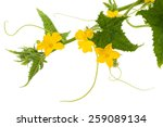 Cucumber Flowers And Leaves...