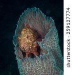 Small photo of A Grouper (Serranids: Serranidae) watches the world from the hide of an azure vase sponge, Slagbaai dive site, Bonaire, Netherlands Antilles
