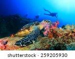 Hawksbill Sea Turtle Feeds On...