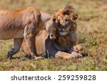 Pair Of Lions Cuddle In The...