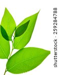 green leafs isolated on white...   Shutterstock . vector #259284788