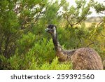 Emu In The Dessert