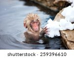 Baby Snow Monkey Japanese...