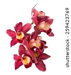 Cymbidium Orchid. Isolated