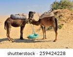Two camels in the Sahara desert, Egypt  - stock photo