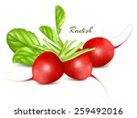 fresh radishes. vector... | Shutterstock .eps vector #259492016