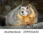 yellow bellied marmot | Shutterstock . vector #259531643