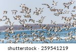 A Large flock of CanvasBacks Ducks Flying Over the Chesapeake Bay in Maryland - stock photo