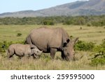 A Mother White Rhinoceros  ...
