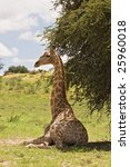 giraffe resting in the shade ... | Shutterstock . vector #25960018