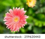soft focus photo gerbera flower   Shutterstock . vector #259620443