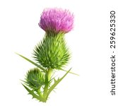 Thistle.  Hand Drawn Vector...