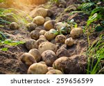 Fresh Organic Potatoes In The...