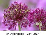 Allium Globmaster With...