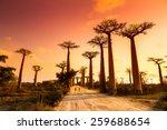 Beautiful Baobab Trees At...
