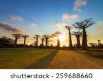Beautiful Baobab Trees At...