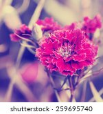 colorful chrysanthemum flowers  ... | Shutterstock . vector #259695740