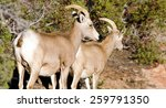 A Mountain Goat Pair Forages...
