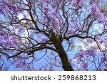 Jacaranda Background