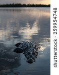 Small photo of An American crocodile (Crocodylus acutus) surfaces on the edge of Turneffe Atoll off the coast of Belize. This large reptile is widespread and males can grow up to 20 feet in length.