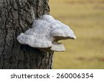 Polypore Fungus Growing On Tre...