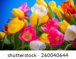 Spring Flowers Colorful Tulips...