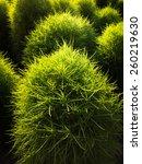 Green Ornamental Grass