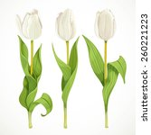 Three Vector White Tulips...