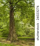 A cypress tree in Spring is part of the Holmdel Arboretum in Holmdel, New Jersey. - stock photo
