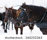 Team Of Canadian Horses In...