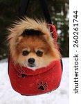 beautiful little dog  | Shutterstock . vector #260261744