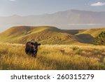 lone cow at kaikoura peninsula...