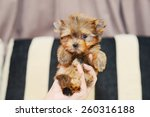 Gold Yorkshire Terrier