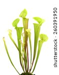 Yellow Pitcher Plant On A Whit...
