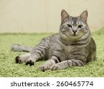 serious cat  cat at home  proud ... | Shutterstock . vector #260465774