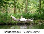 Swan  Family  Nest
