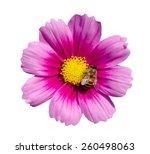 Bee On Purple Cosmos Flower...