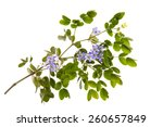 close up little blue flowers... | Shutterstock . vector #260657849