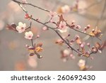 beautiful flowering japanese... | Shutterstock . vector #260692430