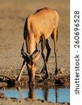 Small photo of Red hartebeest (Alcelaphus buselaphus) drinking water, Kalahari desert, South Africa