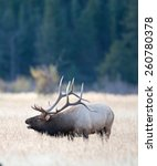 Small photo of A large bull North American elk standing in an open meadow during the rut in Rocky Mountain National Park in Colorado.