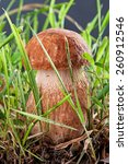 ceps. white fungus in the... | Shutterstock . vector #260912546