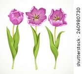 Vector Purple Tulips Isolated...