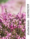 blooming heathers with blurred... | Shutterstock . vector #260982539
