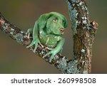A Waxy Monkey Tree Frog Is...
