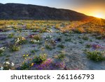 Blooming Desert  Near Borrego...