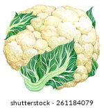 cauliflower   hand drawn... | Shutterstock .eps vector #261184079