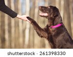 Beautiful Brown Dog Gives Paw