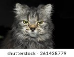 Stock photo angry cat looking at the camera 261438779
